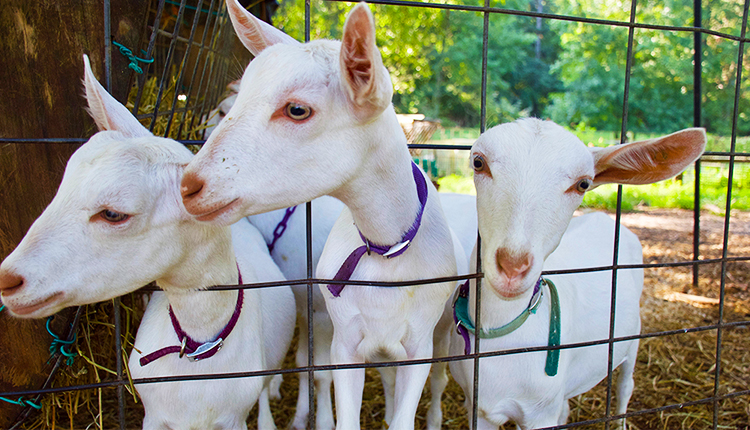 Goats at Decimal Place Farm