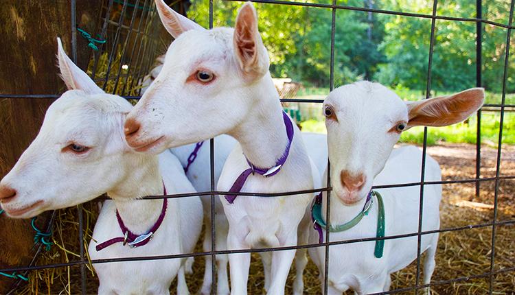 Goats at Decimal Place Farm