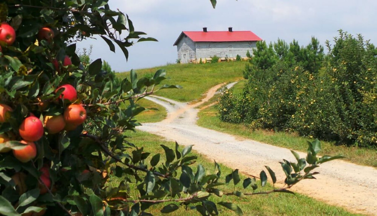 Apple farm with a barn on a hill.