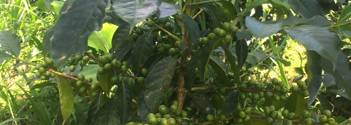 Green coffee cherries